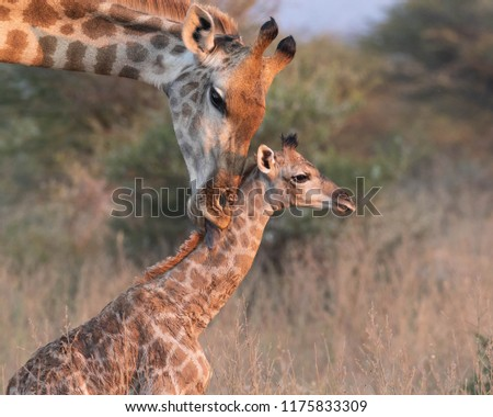 New born Giraffe #1175833309