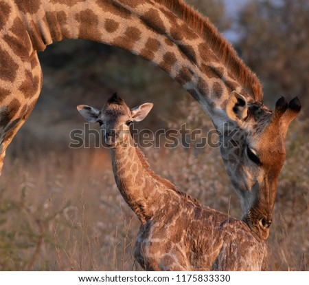 New born Giraffe #1175833330