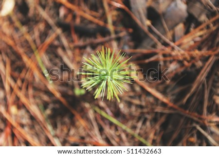 new born green small pine tree seedling in forest with dirt clay background