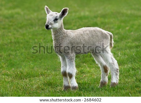 New born lamb standing alone in a field in spring.