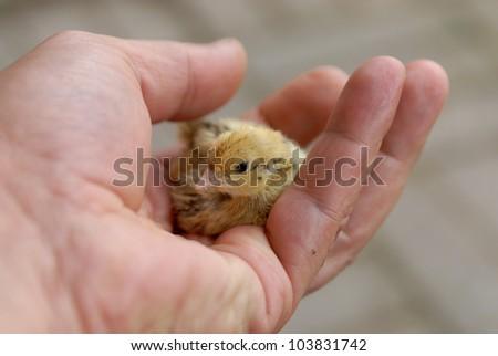 new born quail chick