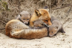 New born red fox cubs first time out the den.