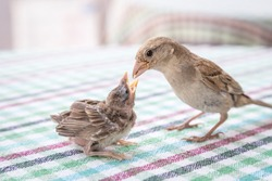 New born sparrow bird babies. Feeding each other. cute baby bird of house sparrow