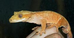 New Caledonian crested gecko (Correlophus ciliatus)