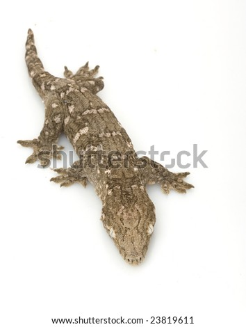 New Caledonian Giant Gecko (Rhacodactylus leachianus) isolated on white background.