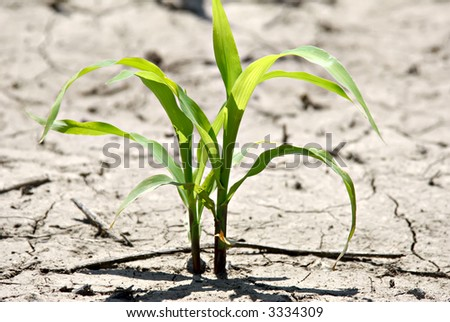 New corn plant growing in field. Plant has imperfections at 100%.