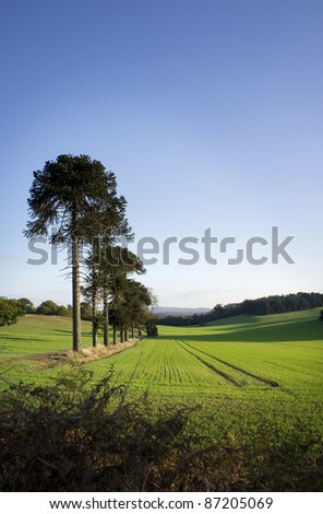 new crop on farmers field with a row of monkey puzzle trees