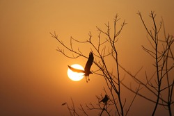NEW DELHI, INDIA - June 04, 2020: A bird fly high near during the Sunset and Silhouette of Birds at Yamuna Biodiversity Park Bird Sanctuary.