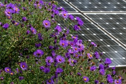 New England Aster in a butterfly garden against a backdrop of solar panels on a bright summer's day.   Pollinating flowers and solar panels form a climate change alliance.
