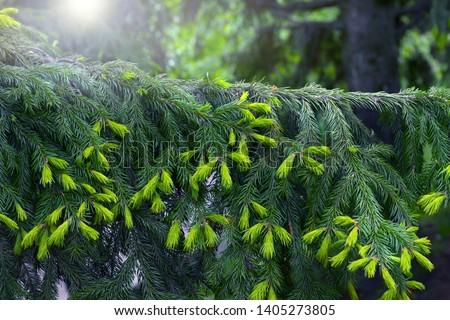 New fir shoots. Fir-tree branch in the center of a shot. Nature #1405273805
