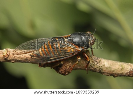 New forest cicada on a close up horizontal picture. A comon European species in its natural habitat.