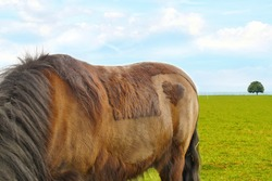 New Forest Pony (Dülmener) in a green field, with a heart shaped spot on it's rump, with a spot in the form of heart. Conceptual image of valentine, friendship, love, protection of wild world animal