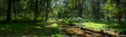 New forest woodland in summer panoramic