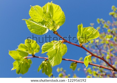 new green leaves of linden tree in springtime