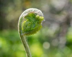 New growth of the Cinnamon Fern, Osmunda cinnamomea.