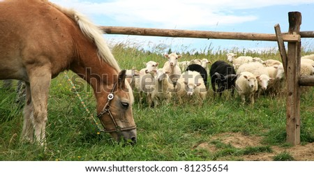 New Haflinger horse on the farm and Skudde sheep it found interesting - the most primitive sheep breed in Europe. Funny farm.