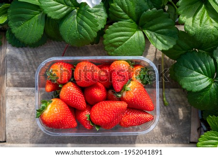 New harvest , box of ripe red sweet strawberry on farmer fiels and green leaves of strawberry plants Foto stock ©
