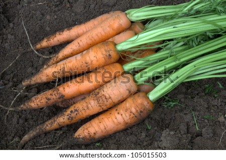 New harvest fresh organic carrots - stock photo