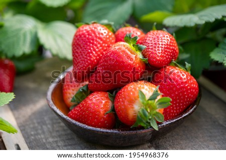 New harvest, plate with ripe red sweet strawberry on farmer fiels and green leaves of strawberry plants close up Foto stock ©