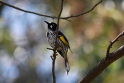 New Holland honeyeater of Australia with yellow wings