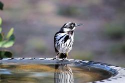 New Holland Honeyeater (Phylidonyris novaehollandiae) at birdbath, South Australia