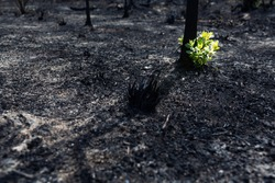 New leaves burst forth from a burnt tree after forest fire.The rebirth of nature after the fire.Ecology concept background.