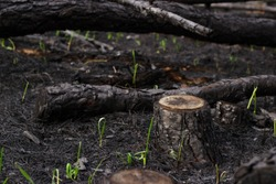 New life grass after forest fire. Burnt pine trees