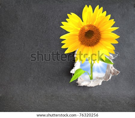 New life. Sunflower in hole