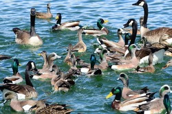 New Mexico birds wild ducks, goose and geese waterfowl in the blue green water at the local ponds and lakes