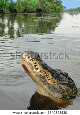 New Orleans - July 31, 2014: Alligator #1340643530