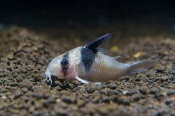 New Panda Cory Catfish (Corydoras sp. CW51) from Colombia catfish from from Colombia