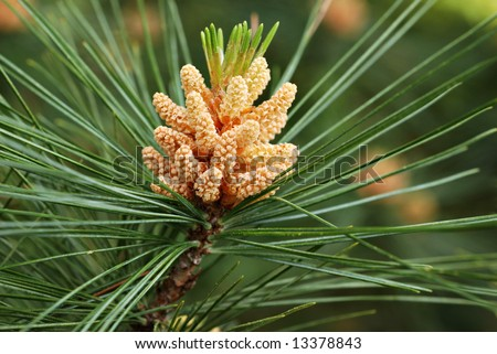 New pine cone sprout on branch of Eastern White Pine tree.   Macro with shallow dof