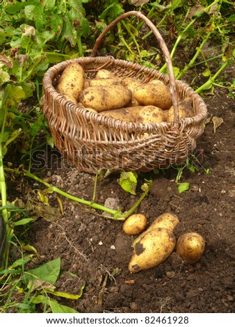 new potato harvest