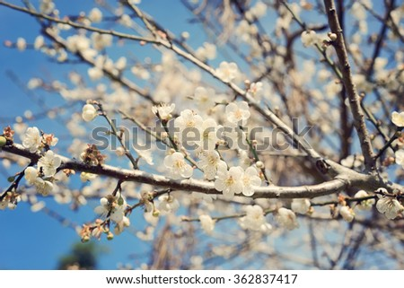 New spring blossom of peach tree on blue pastel bokeh background with low dof.