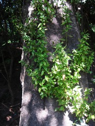 NEW SUCKER SIDE BRANCHES GROWING ON OLD MATURE TREE TRUNK