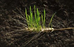 New wheat generation growing out of old ear on fertile soil, re-creation concept