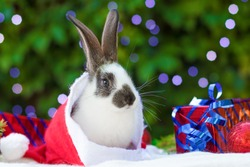 new year with pets. baby rabbit in santa claus hat with boxes of gifts on background of fir tree. Holidays, winter, celebration concept. christmas card with bunny, banner, copy space, text