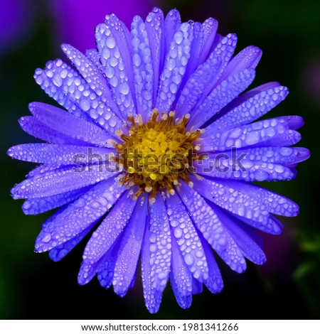 New york aster: a species of Asters, also known as Michaelmas daisy, New York american aster, Sapphire aster, New england aster, its botanical name is Symphyotrichum novi belgii. Foto stock ©