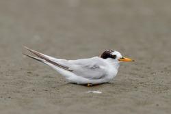New Zealand Fairy Tern - Sternula Nereis