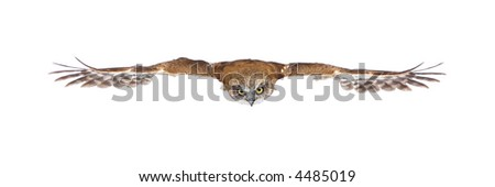 New Zealand owl (3 years) in front of a white background