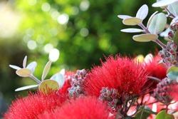 New Zealand Pohutukawa tree red flower close up