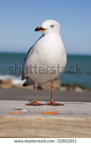 New Zealand red-billed gull standing on rail with ocean behind