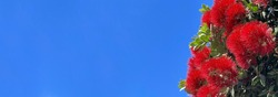 New Zealand red pohutukawa tree flowers with blue sky in the background