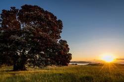 New Zealand's Native Christmas Tree Pohutukawa