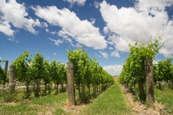 New Zealand's vineyard in summer heat, close to Cromwell, Central Otago