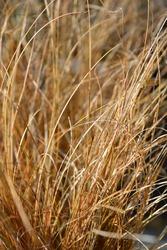 New Zealand Sedge Prairie Fire - Latin name - Carex testacea Prairie Fire