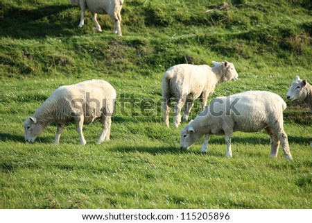 New Zealand Sheeps in The Pasture