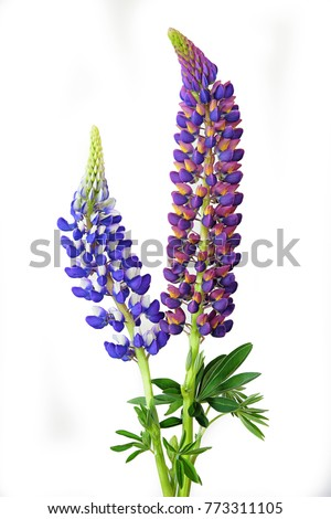 New Zealand South Island Russell lupin flower isolated on white background