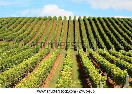 New Zealand vineyard - Beautiful lush, green vineyard rising into a perfect blue sky... - stock photo