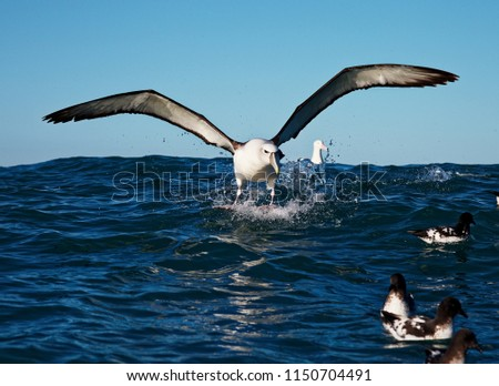 New Zealand White-capped Albatross making a splash landing off the Kaikoura coast, New Zealand #1150704491
